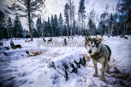 portrait of wolf in forest clearing