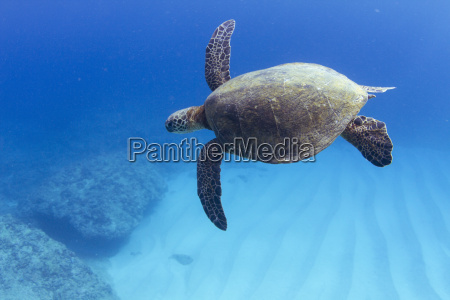 underwater view of turtle swimming over