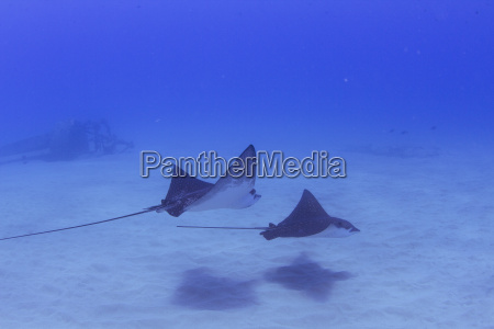 underwater view of two bat rays