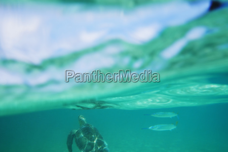 sea turtle and fish swimming underwater