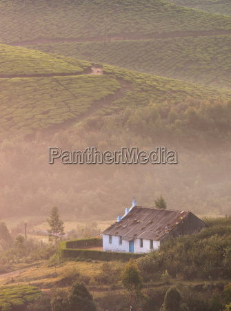 dawn at the tea plantations in