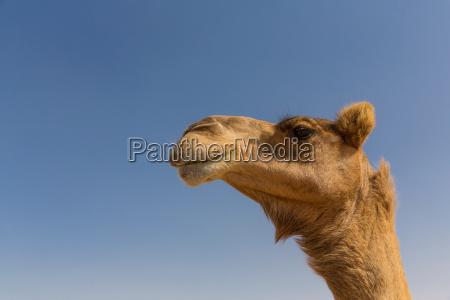 close up of camels head dubai