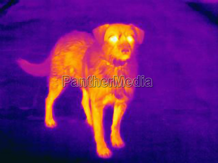 thermal image of dog on city