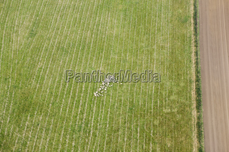 aerial view of sheep in field