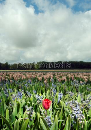 tulip in wilting hyacinth fields egmond