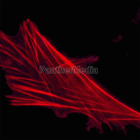 floreszenzbild von fibroblasten in der gewebekultur