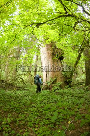 woman admiring large cedar tree in