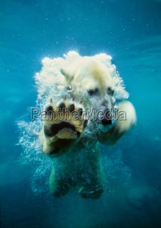 polar bear playing in the water