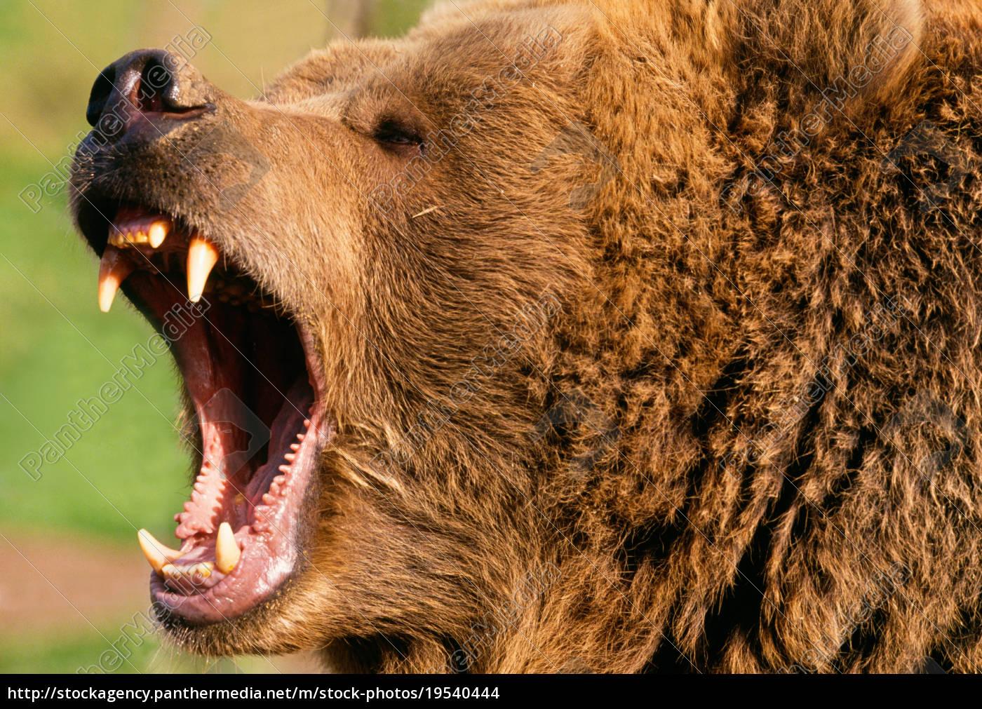 Bär Zähne