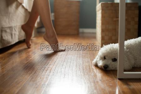 poodle lying on floor of room