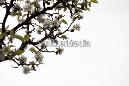 gravenstein apple blossoms on tree