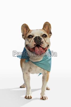 french bulldog wearing green scarf against