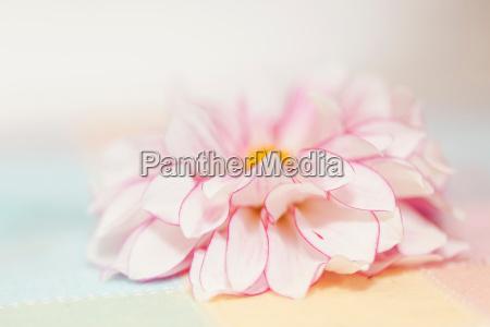 pink gerbera close up