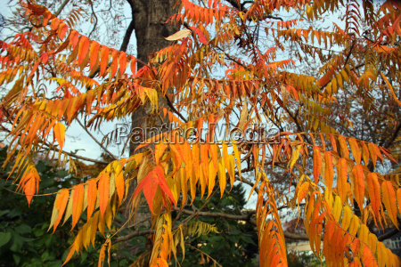 essigbaum in herbstfarben
