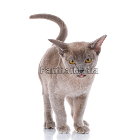 gray cat on white background with