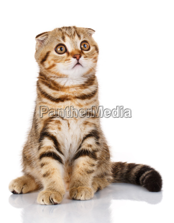 kitten sitting on a white background