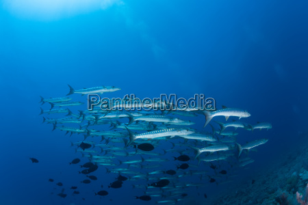 barracuda unterwasser bild sudan rotes meer