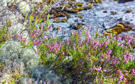 blooming heather und rentierflechte nahaufnahme
