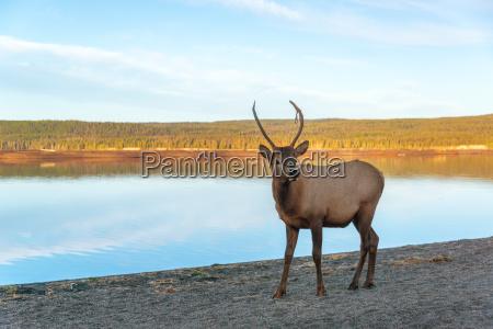 young elk am seeufer