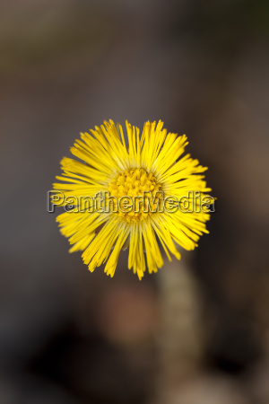 single yellow coltsfoot