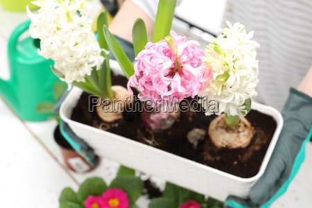 hyacinths spring floral composition