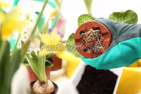 roots replanting potted plant