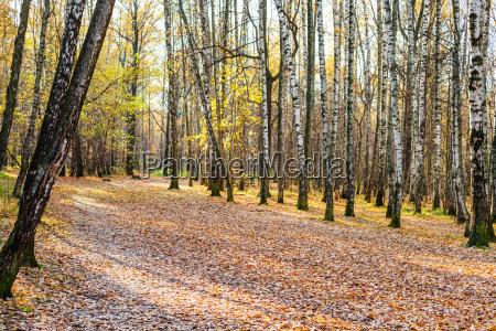 weg mit abgefallenen blaettern in birkenhain