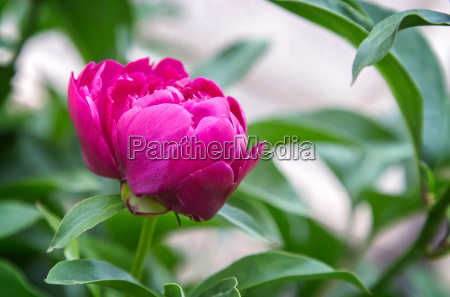 blossoming peony among green leaves
