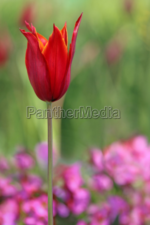 lily flowered tulip tulipa queen of