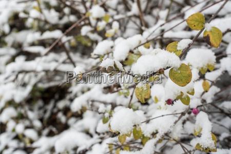 strauch zwergmispel mit ersten schnee