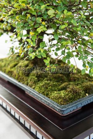 ulme mit gruenem laub als bonsai