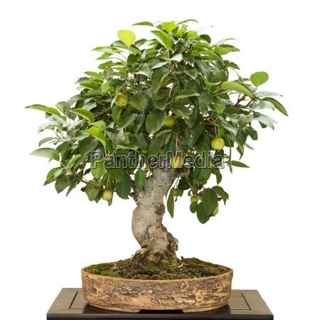 apfelbaum malus als bonsai mit fruechten