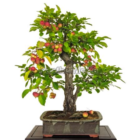apfelbaum malus als bonsai mit roten