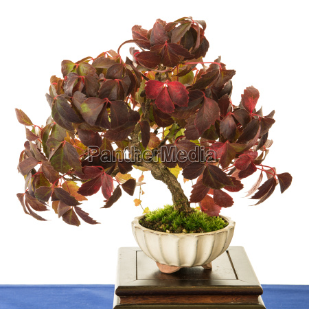 wilde weinrebe vitis vinifera als bonsai