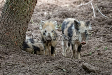 young wild boars in the forest