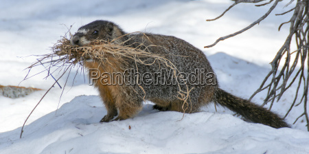 gelb aufgeblaehtes murmeltier marmota flaviventris