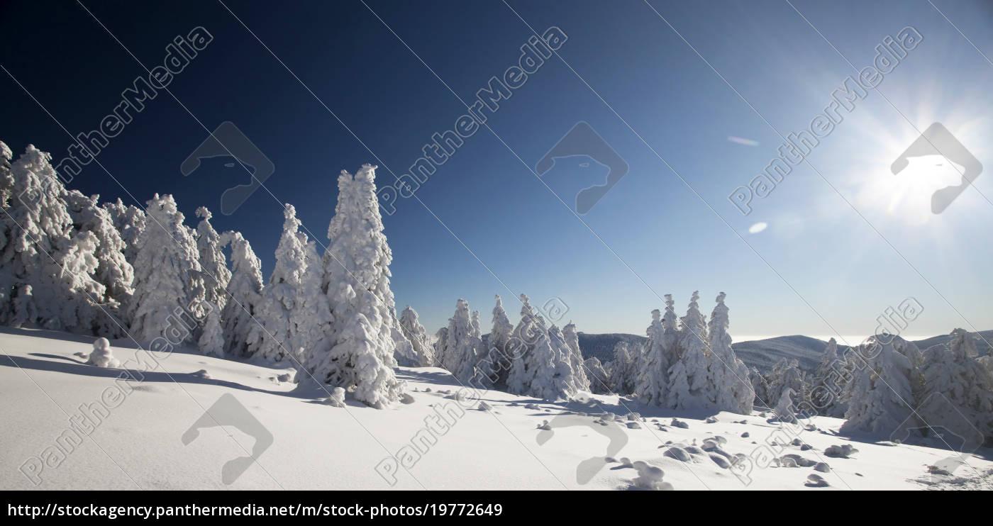 schneebedeckte, kiefern, in, den, bergen - 19772649