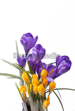 spring flowers of violet and yellow