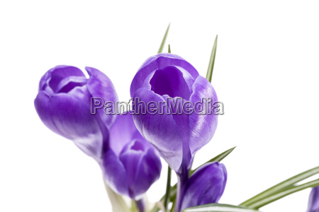 spring flowers of violet crocus isolated