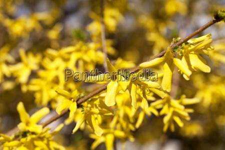 gelbe fruehlingsblumen von forsythia im garten