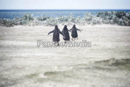 gentoo penguins going for a swim