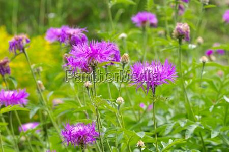weissliche flockenblume oder centaurea dealbata