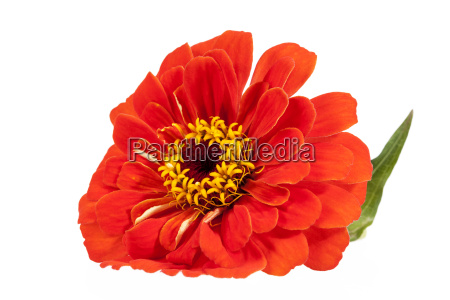 flower of red zinnia isolated on