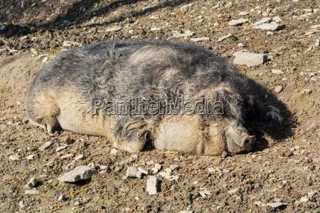 europaeisches wildschwein im schlamm