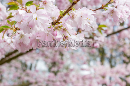 tree with pink cherry blossoms