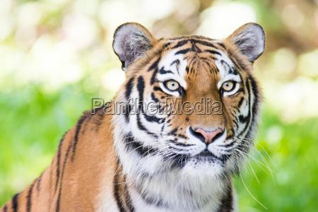 portrait eines sibirischen tigers
