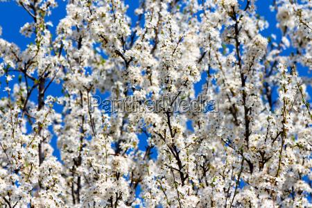 blume pflanze gewaechs fruehjahr kirsche pflaume