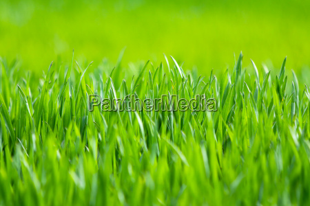 spring meadow with green grass