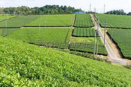 green tea plant farm