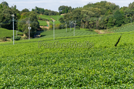 green tea tree in farm